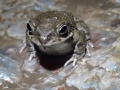 Juvenile small eared toad