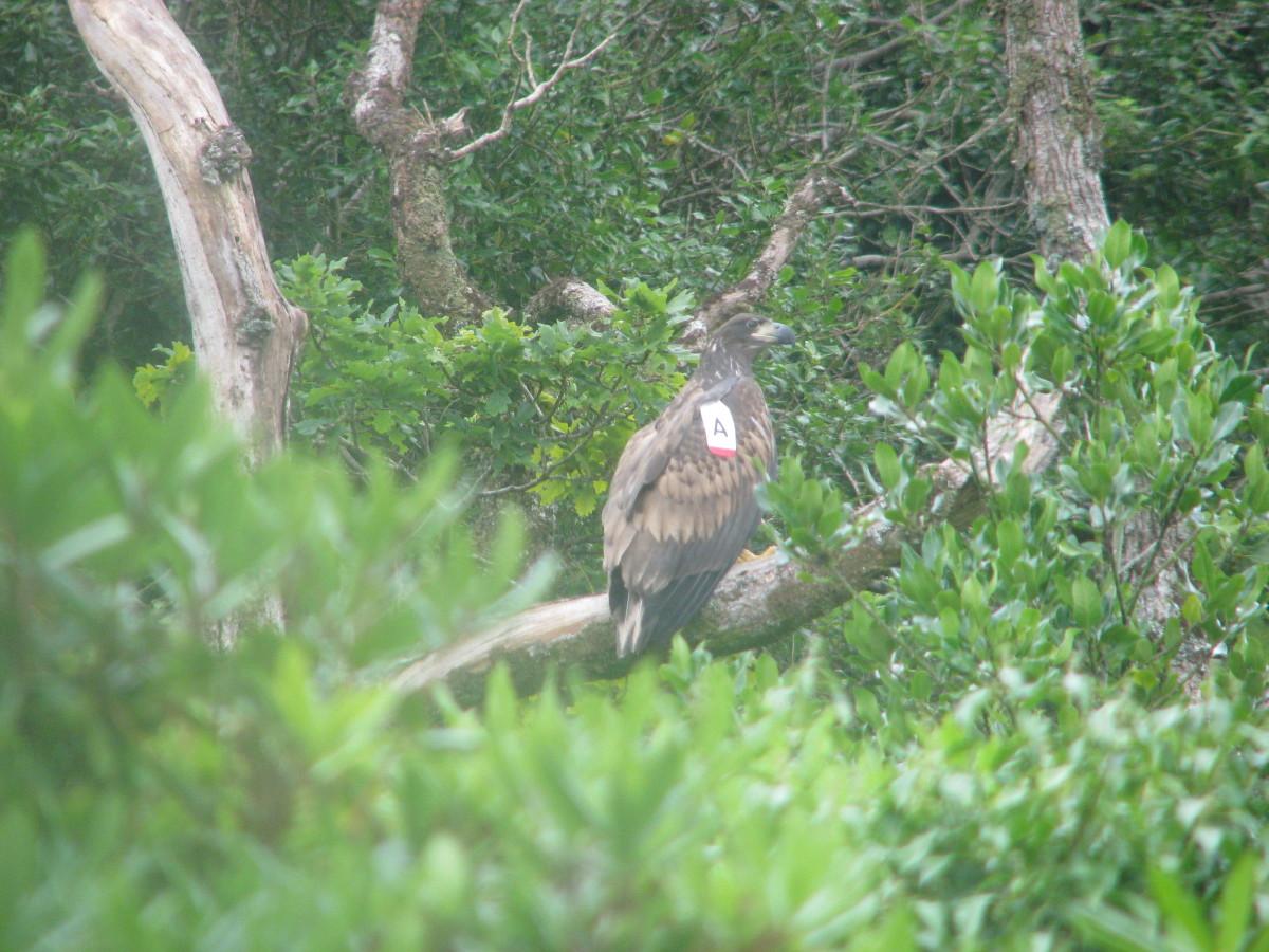 White-Tailed Eagle 2008