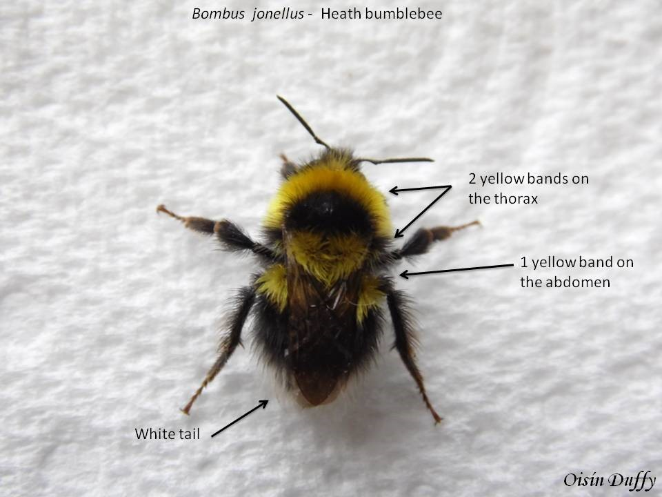 2 yellow bands on the thorax and 1 on the abdomen couple with a white tail – Oisín Duffy