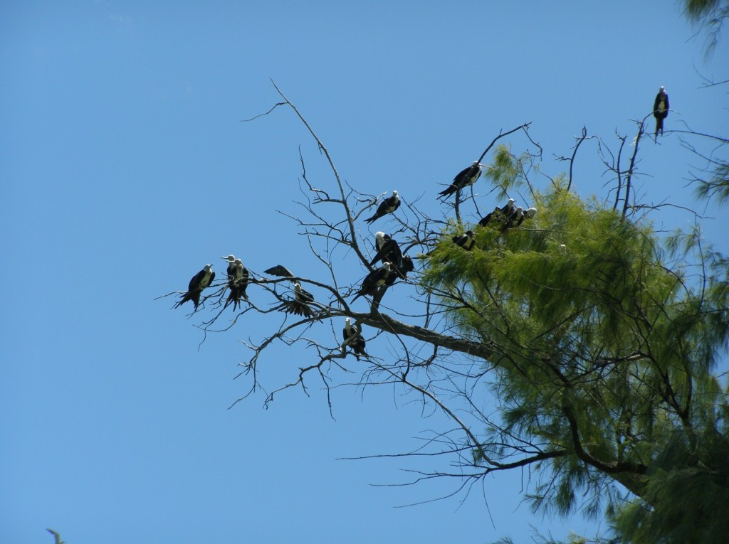 Frigatebirds are adept at flying and will regularly snatch food from terns in flight.