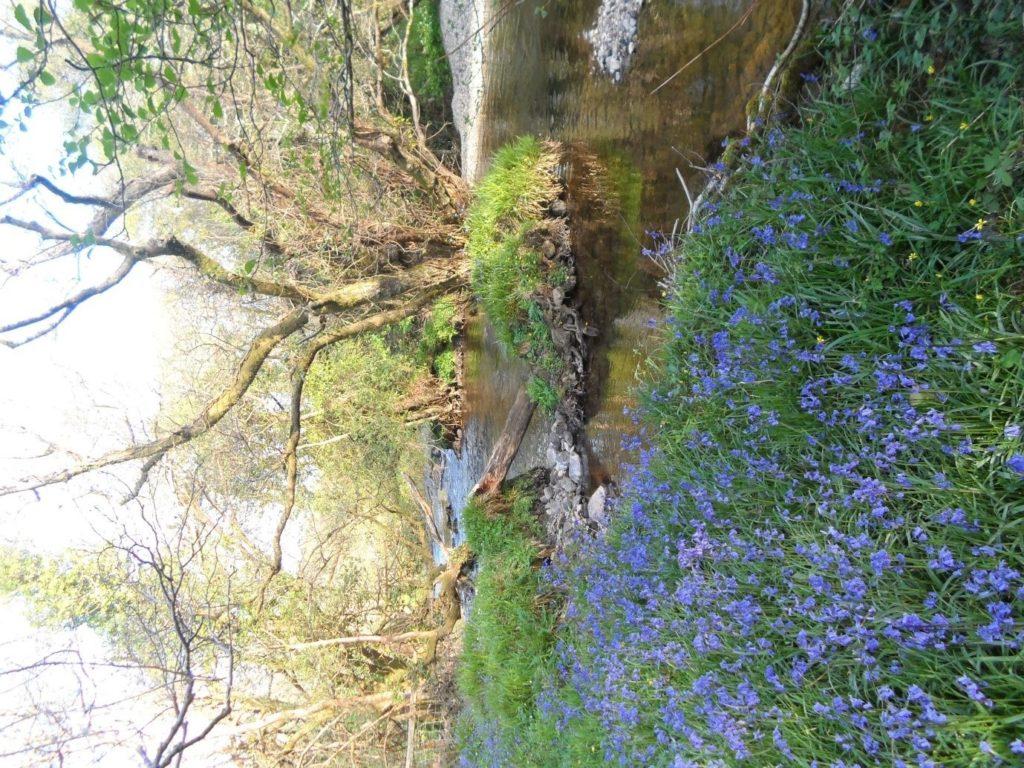 bluebells-by-the-afon-gwyrfai-river-north-wales