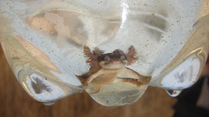 Forever young! An individual smooth newt demonstrating Paedomorphism.