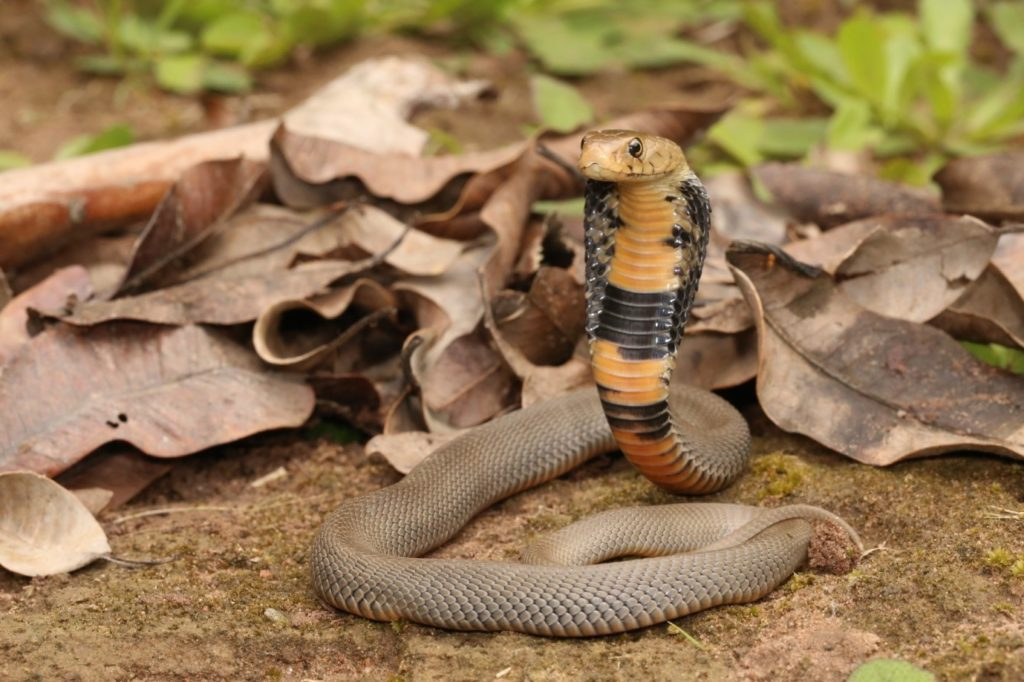 Above a juvenile and adult Mozambique spitting cobra, photos by Nick Evans.
