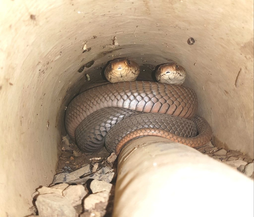 Two's a crowd! A pair of breeding Mozambique spitting cobras; Photo by Nick Evans