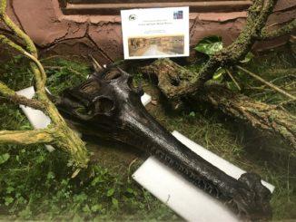 Did anyone say 200 year old gharial skull?! (Photo by Joe Partyka)