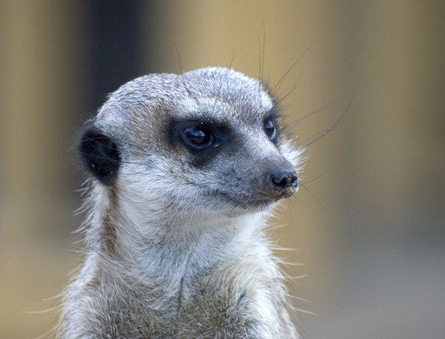 Meerkat. Image coutesy of Dreamstime by Piotr Gilko.
