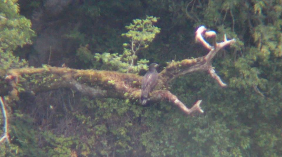 Killarney National Park's first fledged eagle chick in a hundred years last August! (Photo by Sean O'Callaghan)