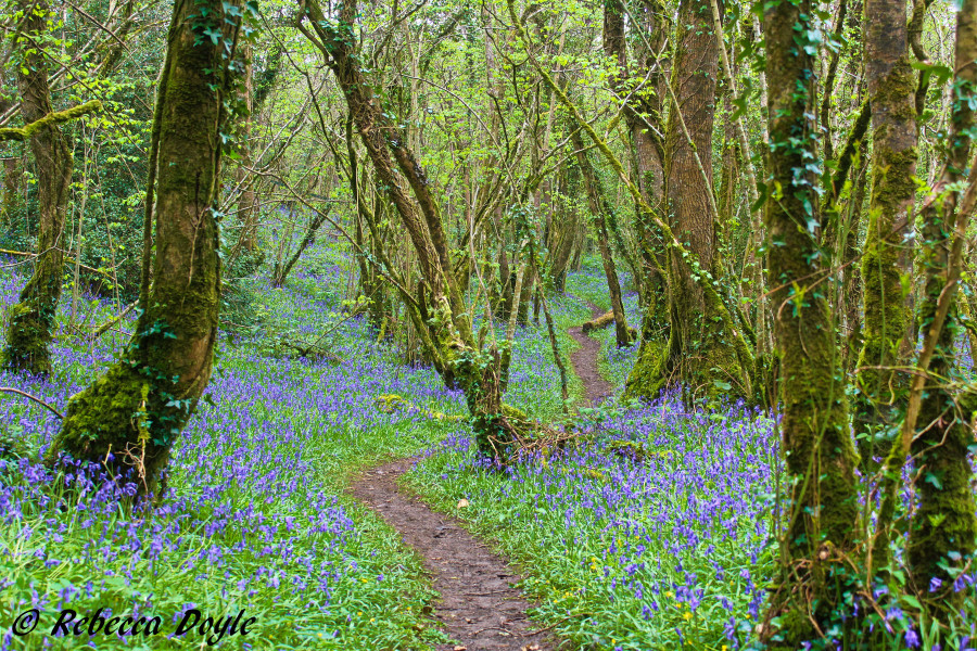 Springtime bluebell woodland in Westmeath, Ireland. (Photo by Rebeccca Doyle)