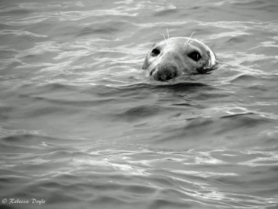 A seal pops its head above water off the Dublin coast (Rebecca Doyle)