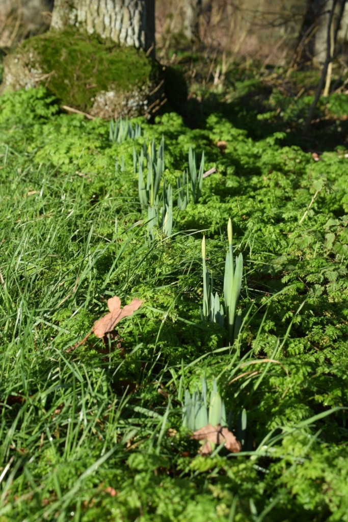 Confused daffodils shooting early due to the abnormally mild winter.