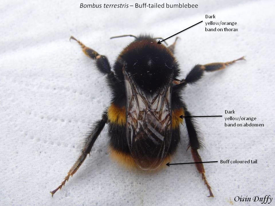 Identification features of a queen Buff-tailed Bumblebee (B. terrestris) – Oisín Duffy