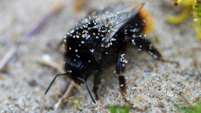 A rather sluggish and sandy B. lapidarius from a dune system – Oisín Duffy