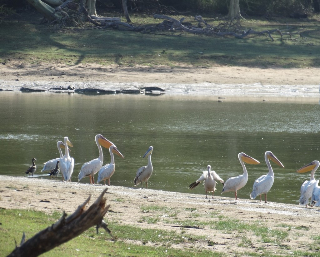 The Nyamithi saline pan with a group of crocs in the background and white backed pelican in the foreground. Note the exposed sand between the grass and shoreline due to the drought.