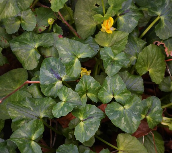Heart shaped leaves with beautiful markings, you can see from this photo that it has formed a rather nice clump or patch – Oisín Duffy