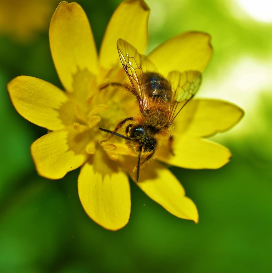 Lesser Celandine is also an important plant for early Spring pollinators, in particular hoverflies and of course beautiful solitary bees (pictured above) – Oisín Duffy