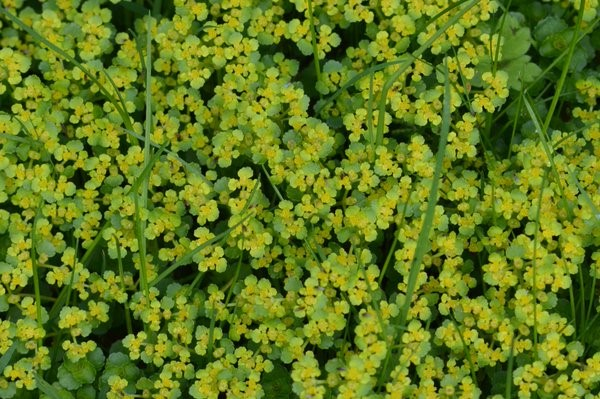 Opposite-Leaved Golden-Saxifrage (Chrysosplenium oppositifolium) growing in a small clump in a shaded area. – Oisín Duffy