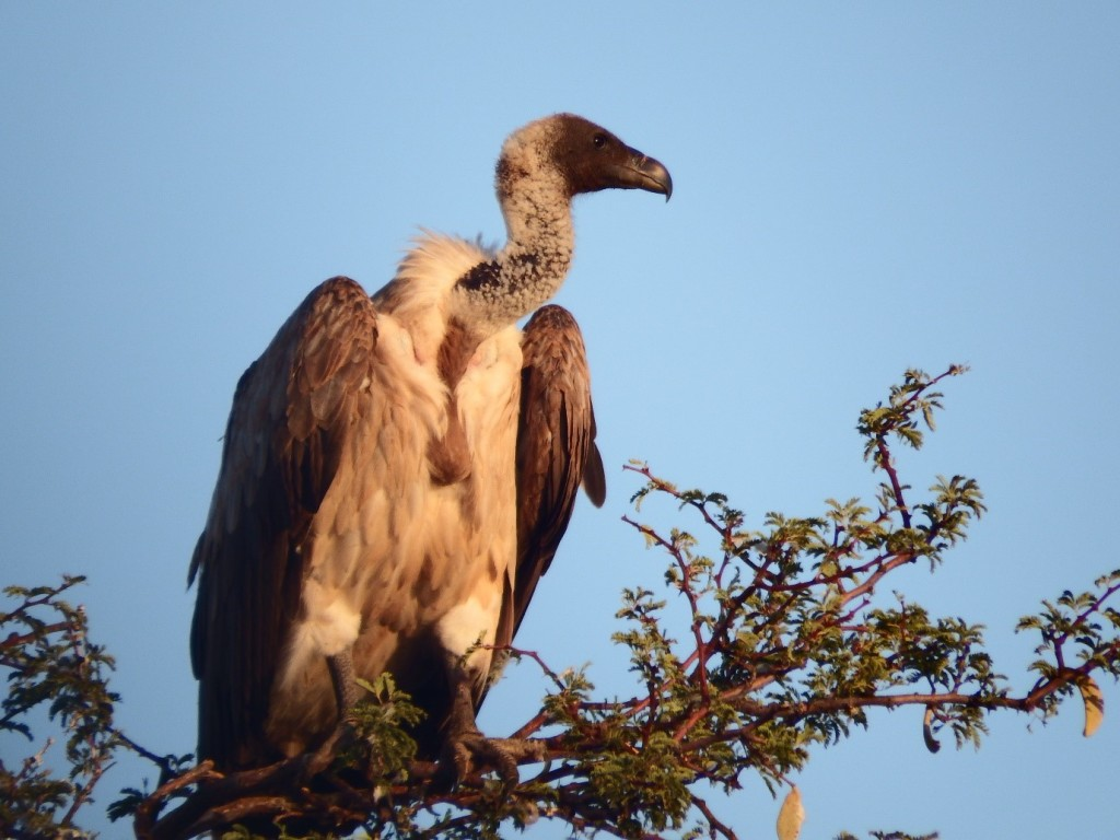 White-backed vulture (Gyps africanus), Kuruman River Reserve, South Africa. Come on, they're at least sort of cute, right? (Photo by Holly English).
