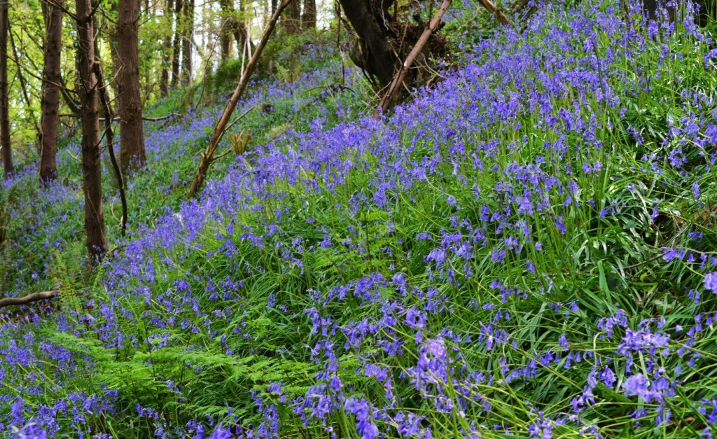 Bluebells carpeting an area of woodland in Co. Waterford – Oisín Diffy