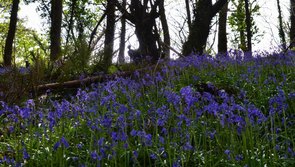 Surely one of the most iconic signs of Spring is the blue-violet-purple hued woodland floor when bluebells are in full flower – Oisín Duffy
