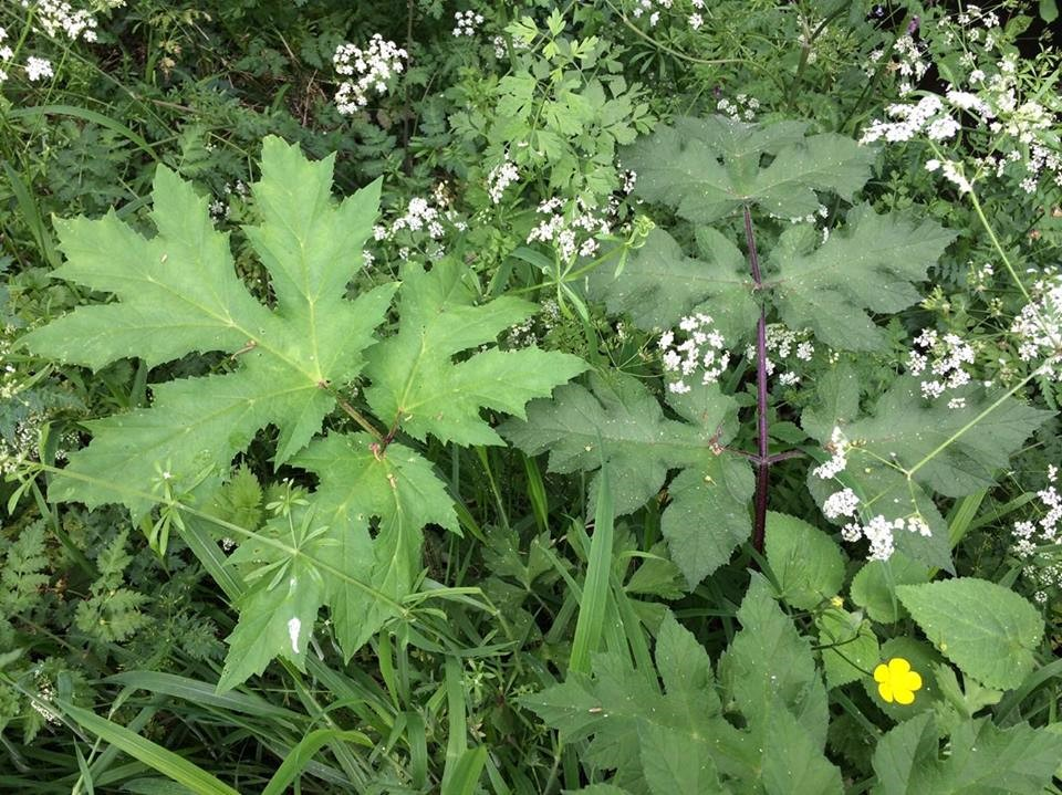 Giant hogweed (left) and native hogweed (right). Photo by Sophie May Watts.