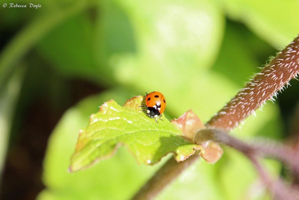 Food preferences can differ between ladybird species but most eat aphids (for example greenflies) and so are a friend of gardeners.