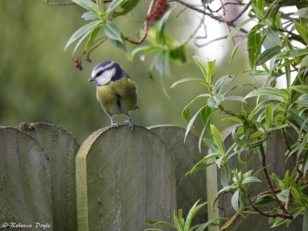 I was lucky to have a family of blue tits in my garden next box this summer. Photo by Rebecca Doyle
