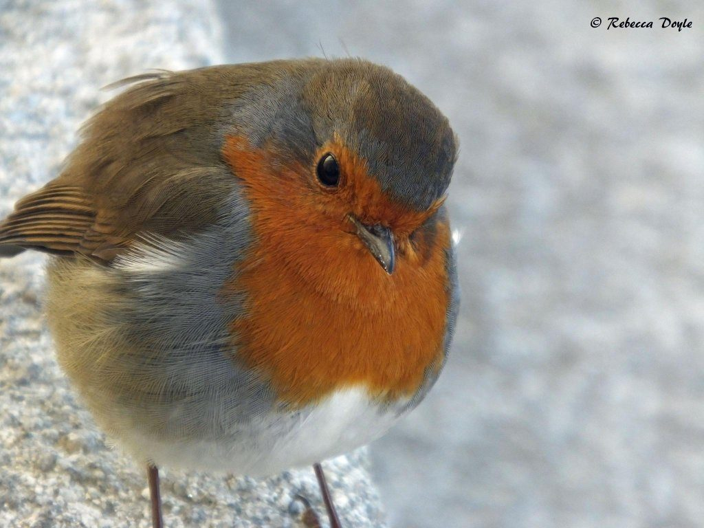 One of our most common and friendlist garden birds. Photo by Rebecca Doyle