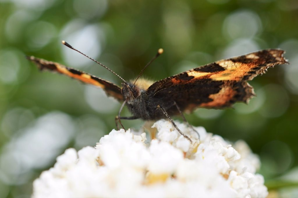 Small Tortoiseshell getting its fill, you can see the proboscis relatively clearly in this picture – Oisín Duffy