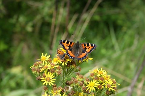 How small is small? – Two butterflies Small Copper (Left) and Small Tortoiseshell (Right) both feeding on Ragwort – Oisín Duffy