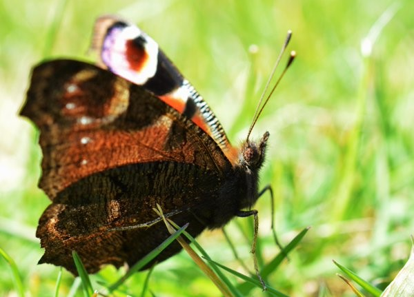 Close up of the Peacock, a small bit of the forewing are visible along with the closest underside wing. The eyes of this species are spectacular also – Oisín Duffy