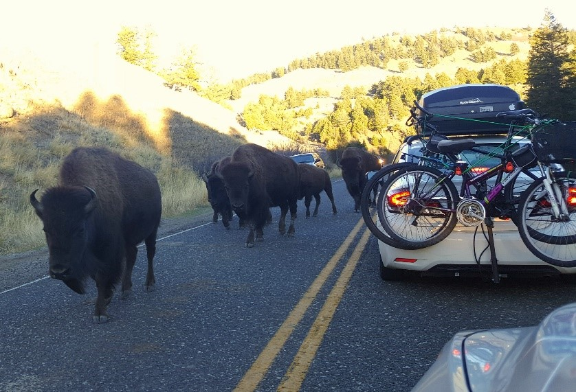 Traffic in Yellowstone regularly comes to a standstill because of Bison on the road. Photo by Jamie Ellis.