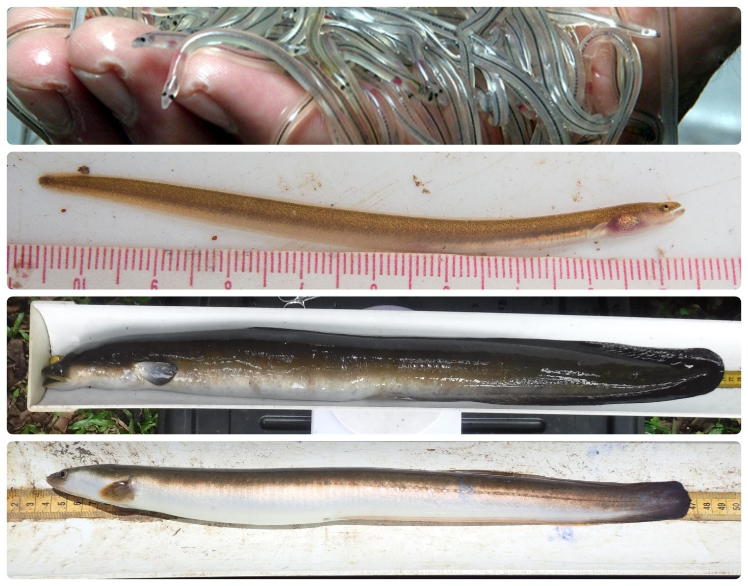Life stage of an eel. From top to bottom : glass eels (source Bournemouth Global Environmental Solutions) when they reach the coast; elver of A. mossambica as they migrate up the rivers, A. mossambica 'yellow eel' stage when they live in freshwater; A. mossambica 'silver eel' when they transform (bright white/silver coloration and big eyes) before they migrate back to the sea.