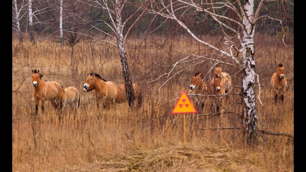 A new haven for the endangered Przewalski horse.