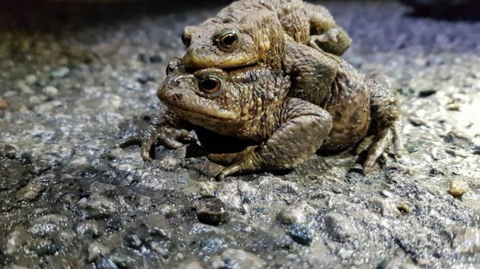 A pair of common toads in ampluxus found on a toad patrol.