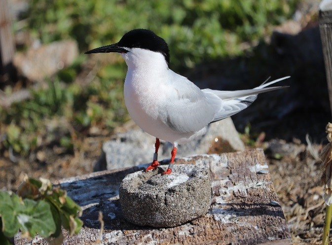 Common (top) and Roseate (bottom) Tern on Rockabill Island. (Image Credit: Lorna Gill, taken under NPWS licence)