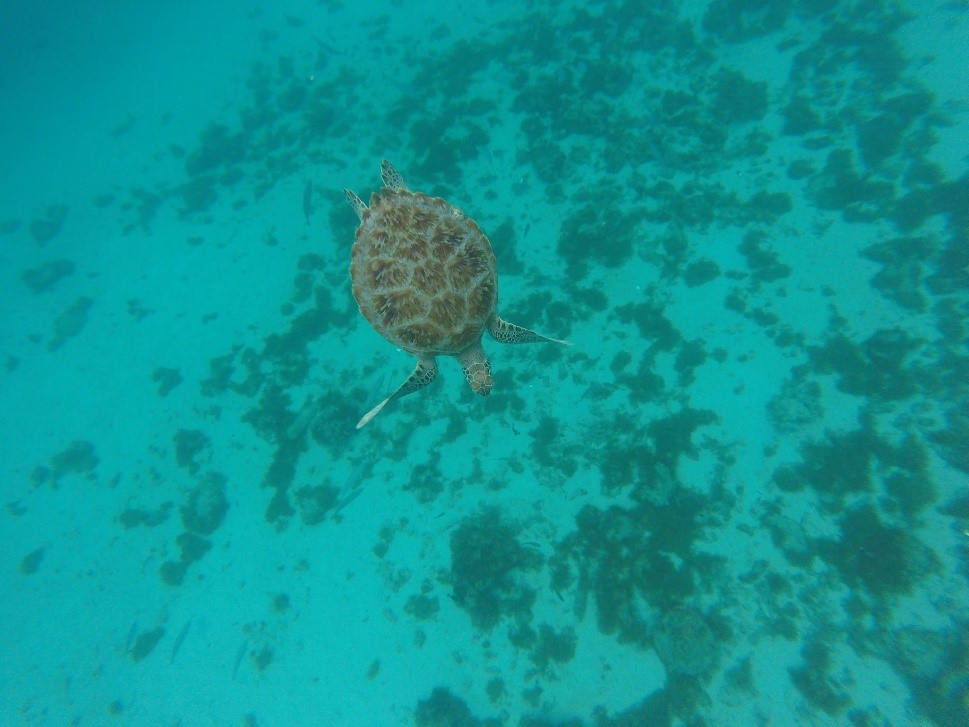 Snorkelling with juvenile green turtles © Jamie Quirke