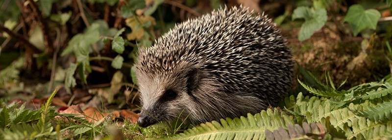 The hedgehog one of the most loved and recognizable species of British Nature (photo courtesy of The British Hedgehog Preservation Society).