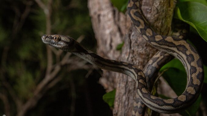 Figure 2: The Coastal Carpet Python (Morelia spilota mcdowelli) is by far the most common snake I relocate in the Townsville region. This relatively large python species thrive in human-altered habitat because of the abundance of rodents that follow human development.