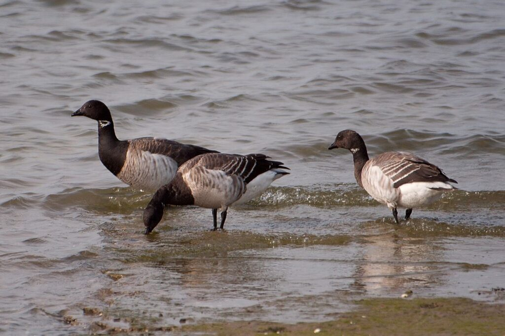 Figure 1: Brent Goose at Bull Island by Angelo Failla